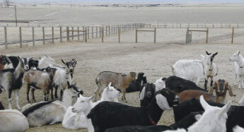 Cows, goats on this area dairy get TLC from loving owners