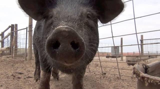 Swine Manager
