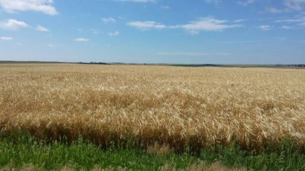 Bringing back barley as a feed grain crop